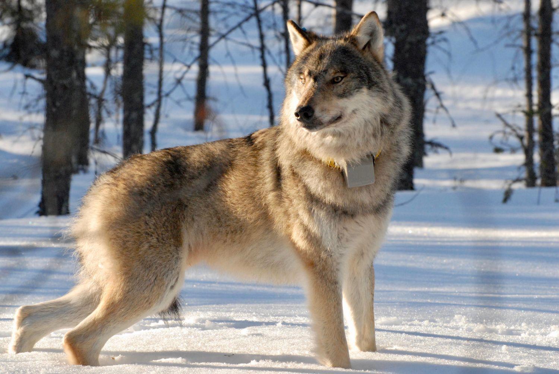 En varg i ett vinterlandskap.