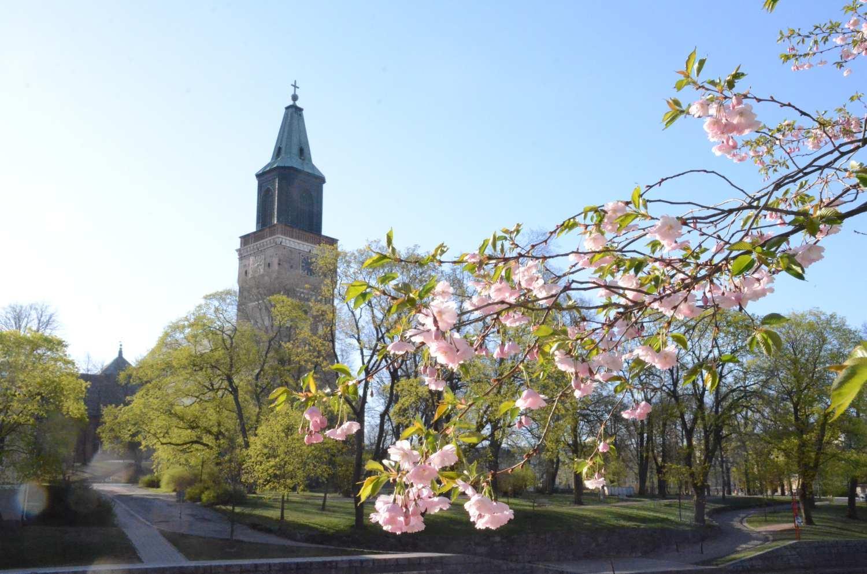Blommande körsbärsträd med Domkyrkan i bakgrunden.