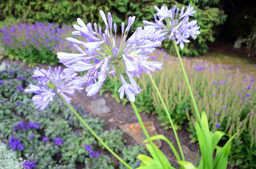 Afrikansk blå lilja.