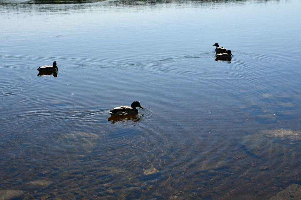 Fåglar i vatten