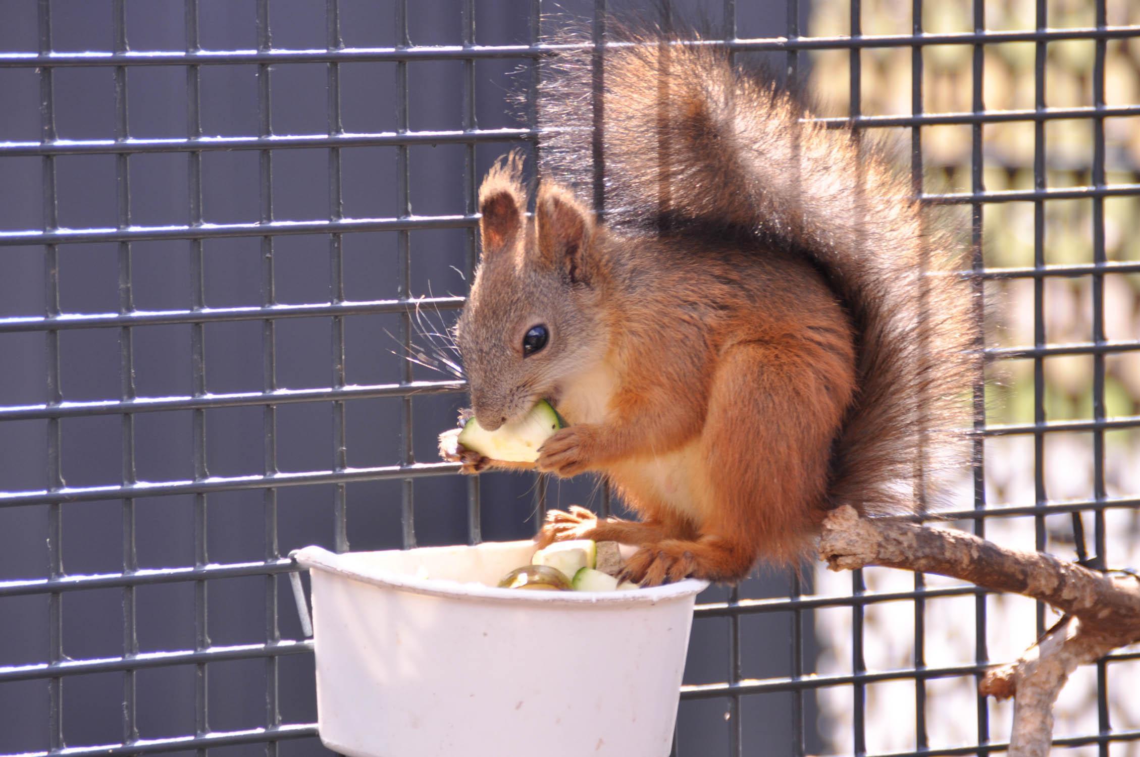 En ekorre gnagar på en gurkbit.