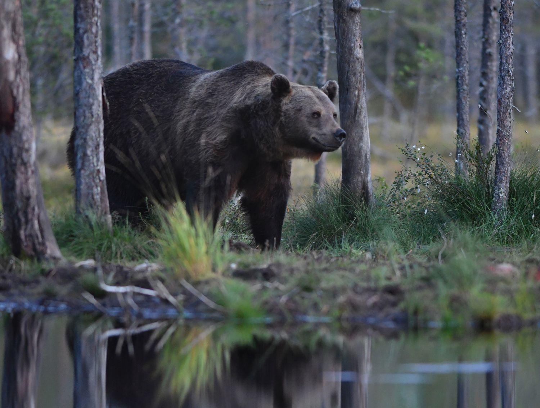 En vild björn vid en skogstjärn