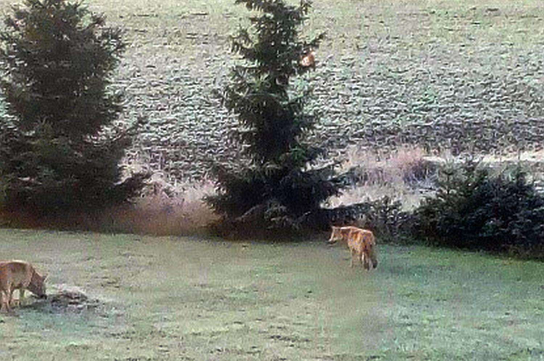 Två vargar på gårdsplan