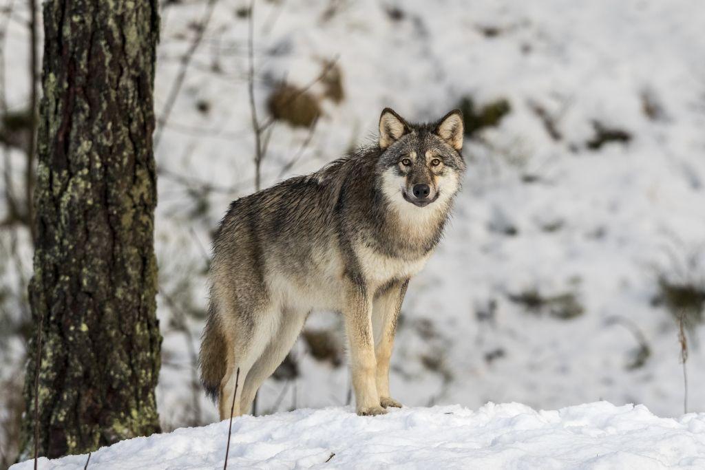 En varg i snötäckt skog