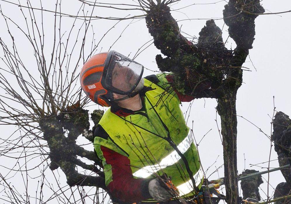 Man klättrar i träd för att klippa grenar