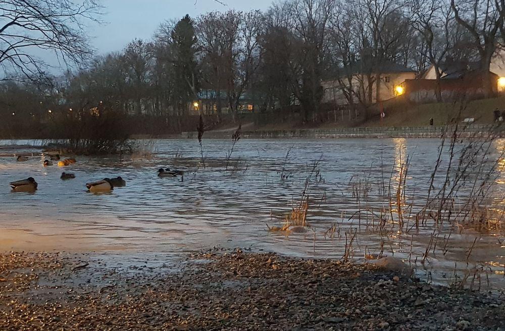 Änder simmar i översvämmad park
