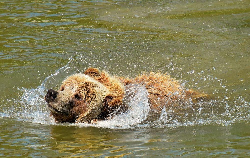 En björn som simmar.