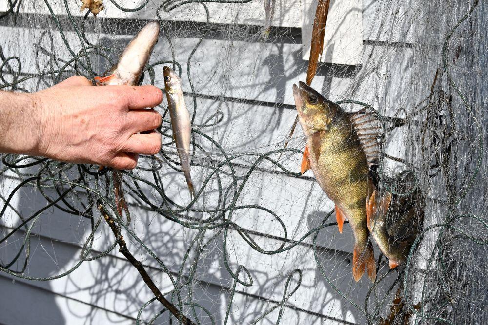 En abborre i ett nät på en brygga.